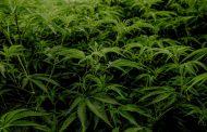 CBD innehåller cannabisplantans goda egenskaper